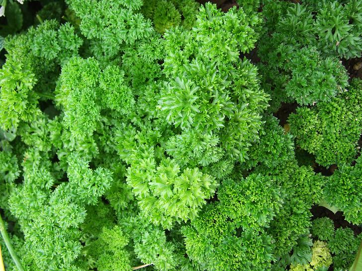 julivert, herba, espècies