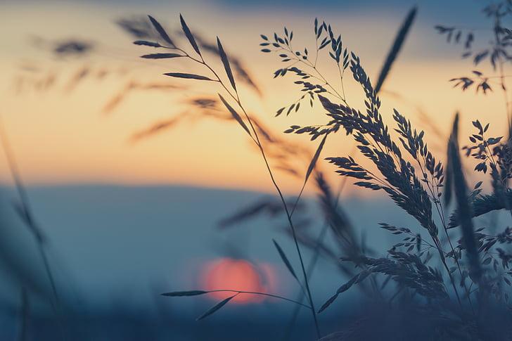 초원, 잔디, 일몰, 자연, 잔디의 블레이드, 잔디, 여름