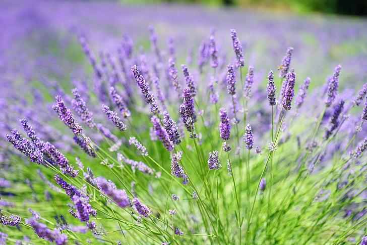 levandų auginimas, levandų laukas, Levanda, gėlės, gėlė, violetinė, violetinė