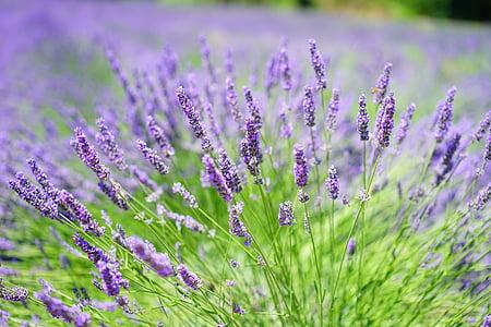 cultivo de lavanda, campo de lavanda, lavanda, flores, flor, púrpura, violeta