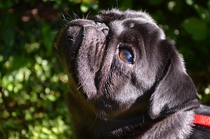 pug, dog, black, purebred dog, lap dog, pet