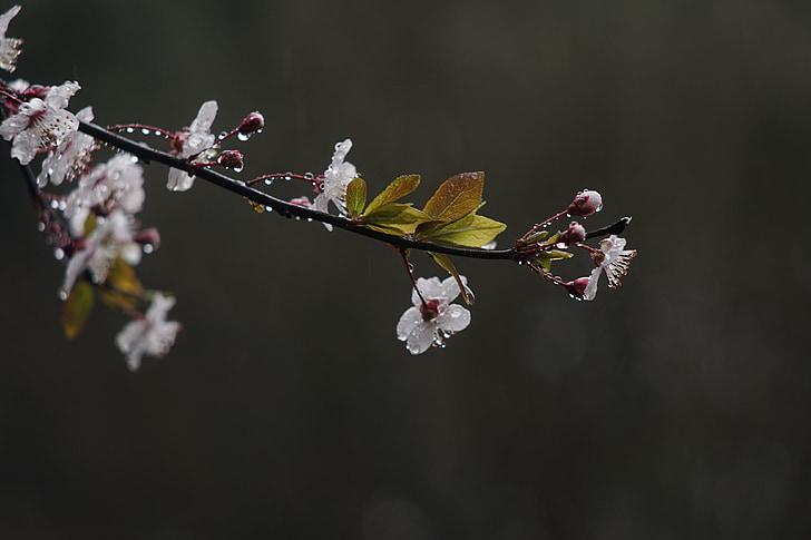 άνοιξη, βροχή, λουλούδι