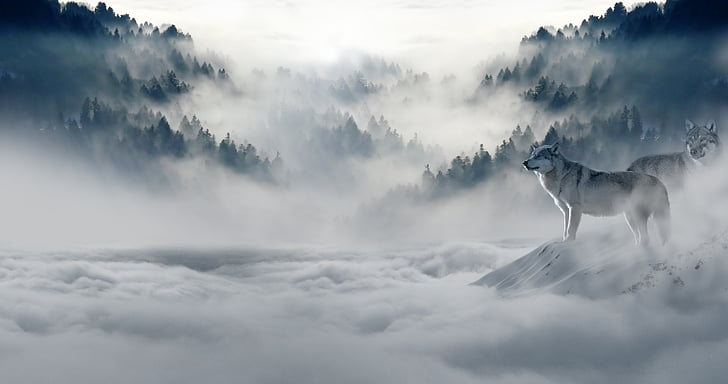 Lobo, lobos, Lobo de nieve, paisaje, ambiente, mundo animal, depredador