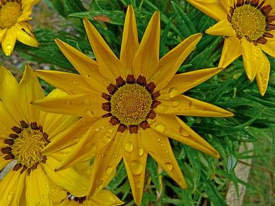 lilled, coreopsis, Makro, loodus, Aed, kollane, kroonlehed