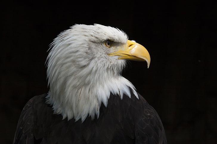 bird, adler, raptor, bald eagles, falconry, bill, heraldic animal