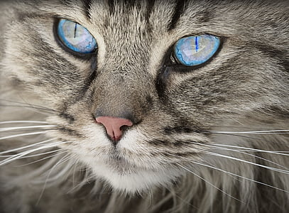 kissa, eläinten, kissa muotokuva, kissan silmät, tiikeri kissa, kotikissa, turkis