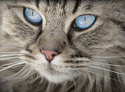 котка, животните, котка портрет, котешки очи, Тигър котка, домашна котка, кожа