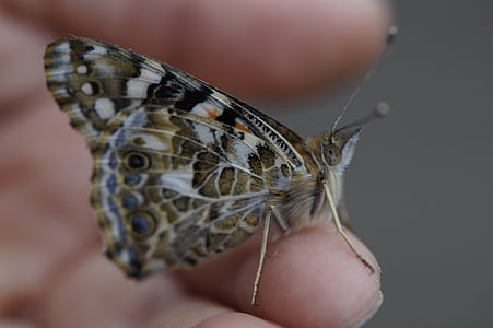 vlinder, Geverfde Dame, sluiten, edelfalter, insect, zomer, dier