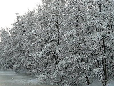 cobert de neu, l'hivern, hivernal, neu, arbres, glacial, fred