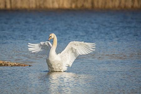 joutsen, Lake, siipi beat, vesi, joutsenet, lintu, Luonto