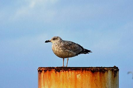 sirály, sirály, Balti-tenger, madár