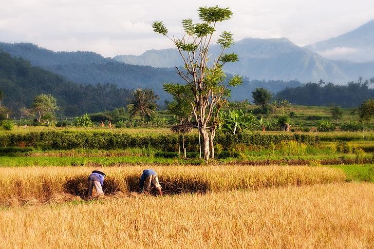 amb closca, Bali, conreu d'arròs, collita d'arròs, collita, l'agricultura, paisatge
