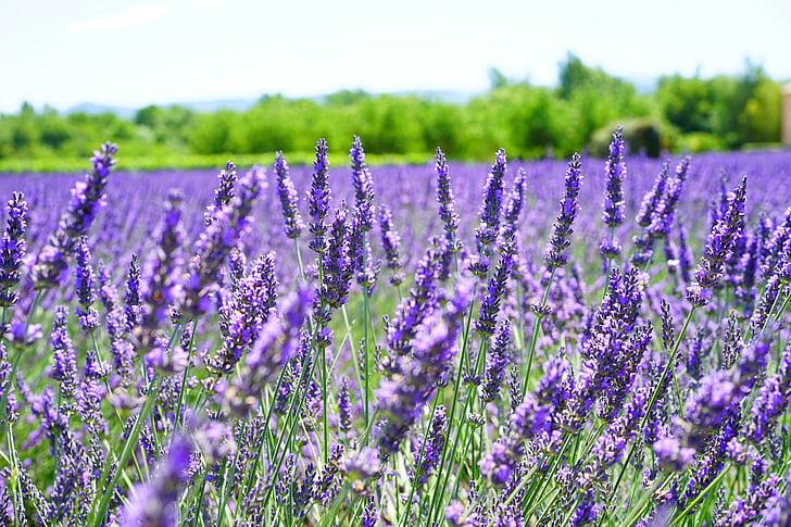 flors d'espígol, violeta, flors, porpra, flora, floral, lavanda