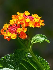 ランタナ, 花, 美容, 赤と黄色
