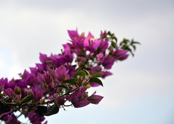 Бугенвиль, цветение, розовый, цветок, Весна