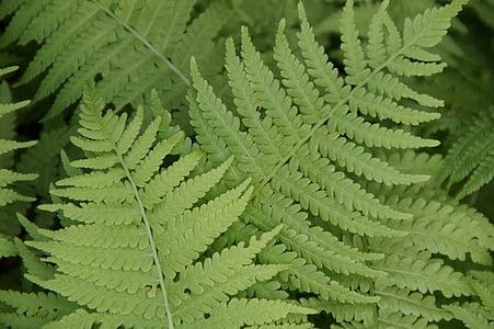 Falguera, falgueres, fulles, planta, planta de Falguera, verd, fulla