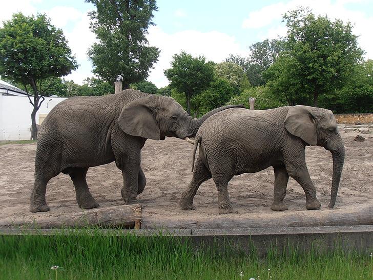 elephants, zoo, elephant, animal