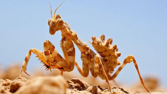 amantide, insectes, insecte, natura, desert de