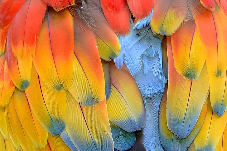 Пролет, папагал, папагал пера, Ara, цветни, цвят, перушина