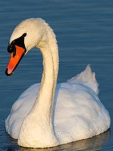 swan, waterfowl, swans, one animal, animals in the wild, animal themes, animal wildlife