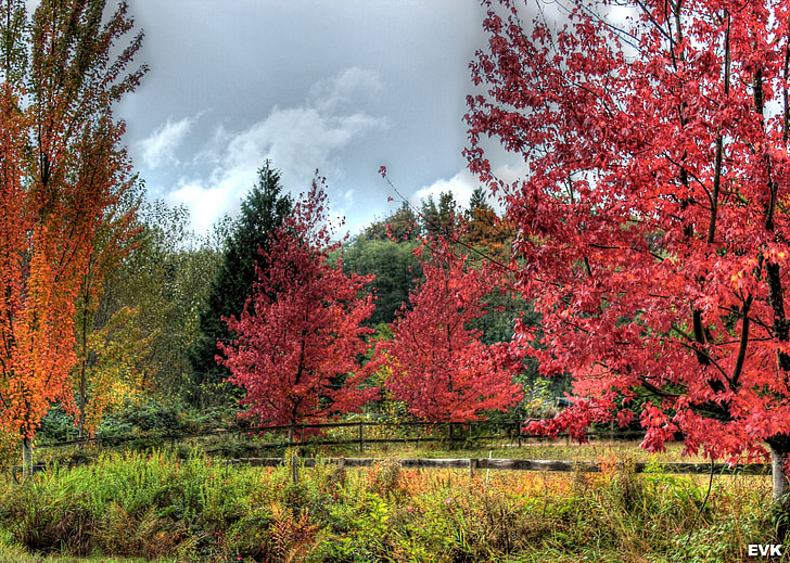 paisatge, vibrants, vermell, arbres, tardor, groc