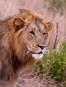 lion, south africa, savannah, lion - Feline, wildlife, undomesticated Cat, carnivore