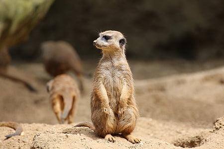 Meerkat, üksildane, liiv, Zoo, looma, imetaja, Aafrika