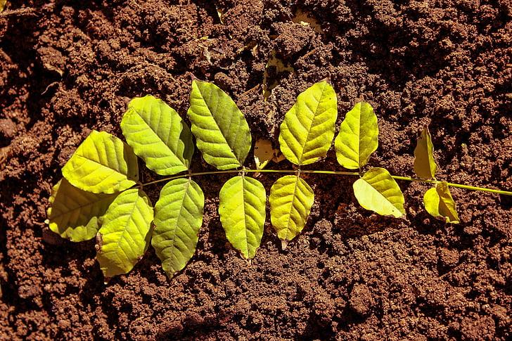 Leaf, zem, zelené listy, Zelená, Príroda, zeleň, Záhrada