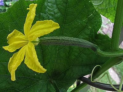 cogombre jardí, cogombre, flor de cogombre, kukumer, Cucumis sativus, hivernacle