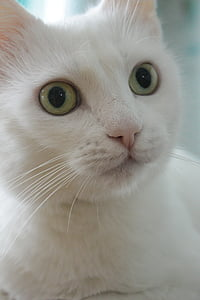 cat, home a cat, white cat, green eyes, cat's eye, view, pet