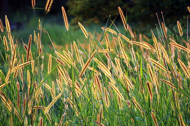 Grassamen, goldenen Samen, langen Samen, braune Samen, Feld, Hintergrund, Blätter