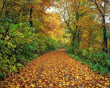 Outono, estrada, folhas caídas, molhado, floresta, Shirakami-sanchi, Japão