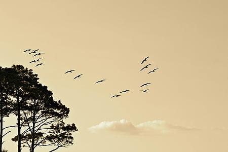 ocells, formació, volant, Sud, nord, migració, núvols