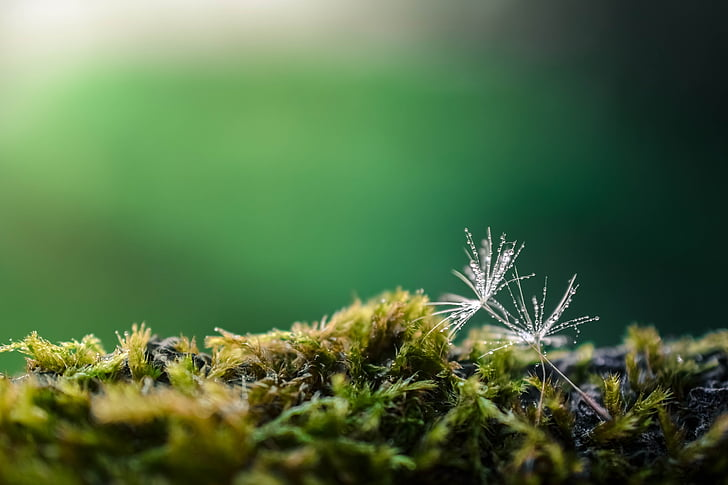 võilill, roheline, loodus, lill, suvel, looduslik, kollane