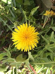 võilill, lill, Wild flower, kollane lill, kollane, kevadel, loodus