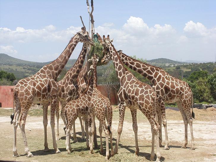 hươu cao cổ, africam safari, động vật, Thiên nhiên, động vật hoang dã, công viên, động vật có vú