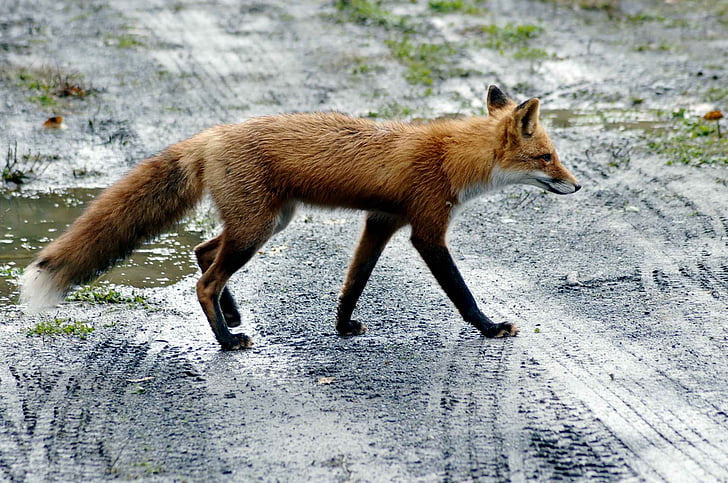 road, fox, red, wolves, foxes, animals, fauna