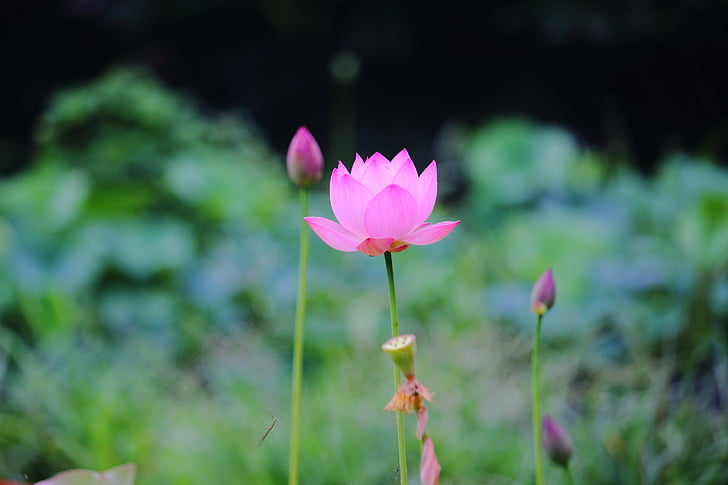 lotus, daechung, lotus village, flowers, pink, insects, potted plant