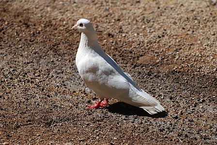 lintu, valkoinen, Dove, kyyhkyt, Linnut, eläimet, eläimistö