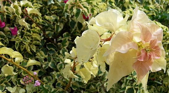 Bougainvillea, sárga virágok, Repkény, szirmok, Flóra, növény, virág