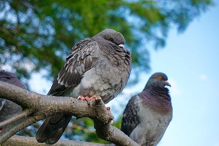 Dove, holubica a holuby, pierko, za studena, vták, zviera, Príroda