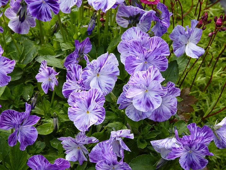 flors, planta, viola, violeta, blanc, vibrants