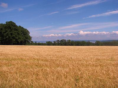 cornfield, field, tree, summer