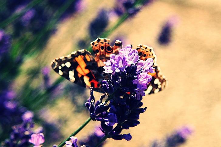 Vanessa cardui, obojana dama, edelfalter, leptir, Lavanda, nektar, cvijet