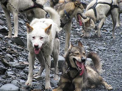 dogs, dogsled, husky, dog, wolf, animal, mammal