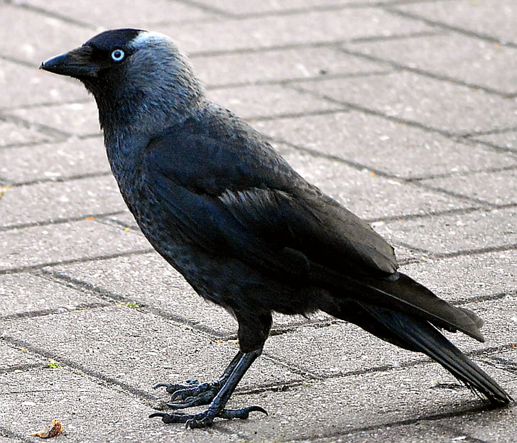 Гарга, гарван птица, Черно птици, Черно, природата, Вранови, животните