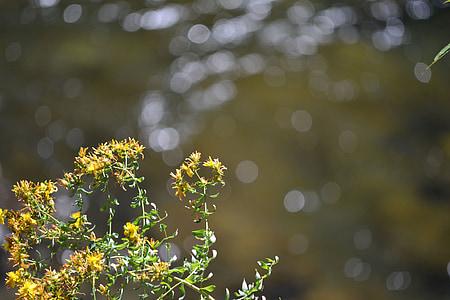 rumena, cvet, vode, divje, plevela, reka