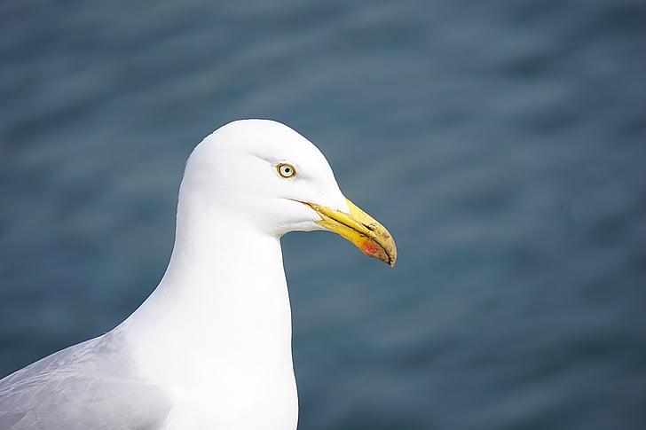 lintu, lokki, Sea bird, eläinten, Sea, Luonto, Ornithology