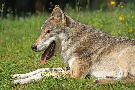 Wolf, Predator, Pack looma, kiskjaliste, imetaja, seisvate, eluslooduse fotograafia