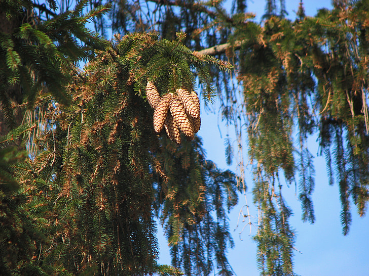 cones, christmas tree, spruce, sky, branch, a bunch of, tree